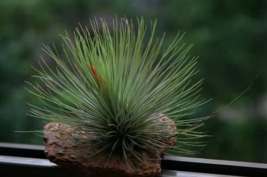 空气凤梨常见养殖问题,叶子发黄干枯或烧尖