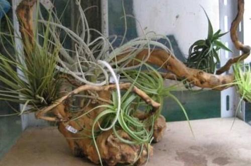 空气凤梨常见养殖问题