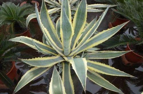 金边龙舌兰的常见病虫害,叶斑病可剪叶喷洒药剂