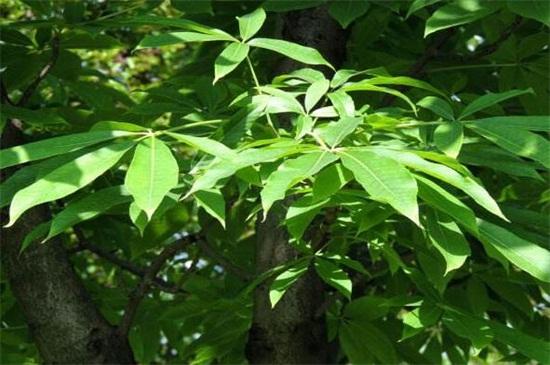 七叶树怎么养