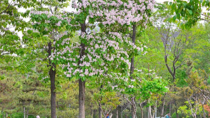 楸樹的養殖方法和注意事項