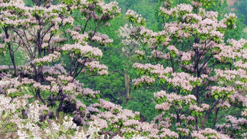 楸树和梓树的区别