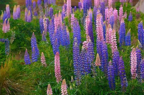 鲁冰花有什么作用,花色丰富可供观赏