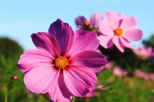 茼蒿花和格桑花的区别