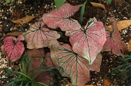 花叶芋可不可以水培,挖株洗根水培养护