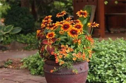 黑心菊的繁殖方法,種子催芽配土播種繁殖