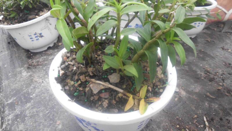 石斛的养殖方法和注意事项