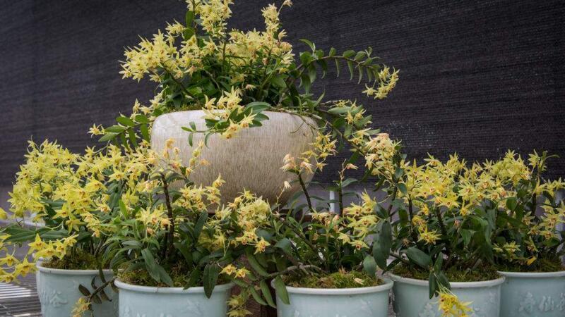 美不胜收的石斛盆栽图片