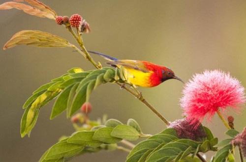 朱缨花和合欢花的区别,花色以及外形不同