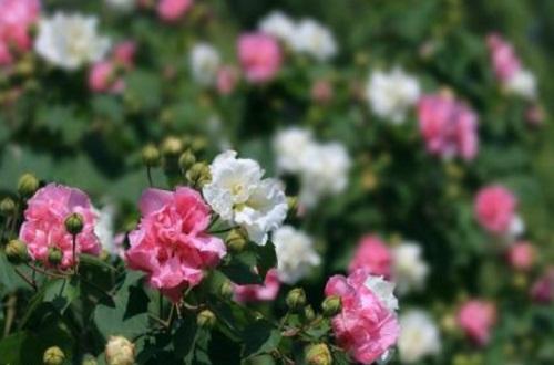 木芙蓉花的花语和传说
