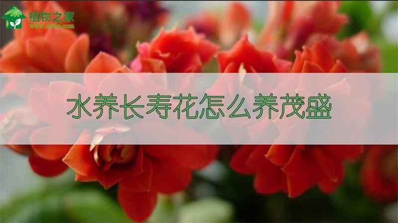 水养长寿花怎么养茂盛