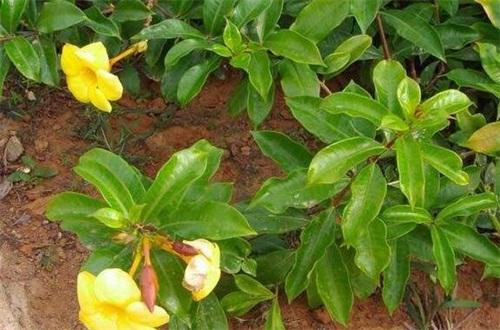 黄蝉兰怎么浇水,春季升温大量浇水