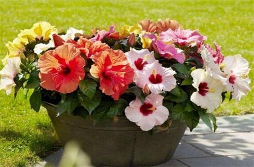 木槿花的花后处理,修剪枝条光照追肥