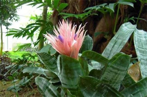 美叶光萼荷怎么浇水,冬季控水避免植株冻伤