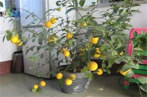 北方盆栽柠檬的养殖方法和注意事项,光照控温追肥养护