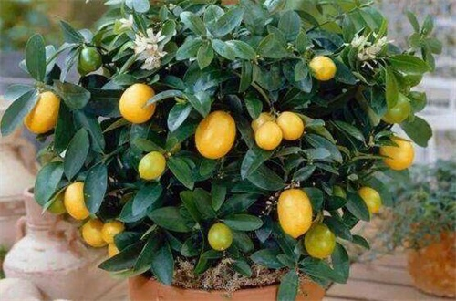 柠檬的病害及其防治,疮痂病改善环境修剪枝叶