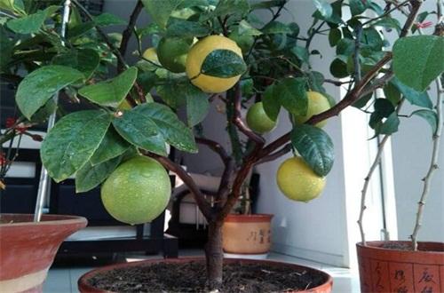 香水柠檬的叶子发黄怎么办,四个步骤促使恢复生机