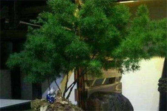 蓬莱松的风水作用及意义,可招财代表着长寿