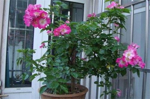 蔷薇花花期是什么时候,大概在5~6月开花