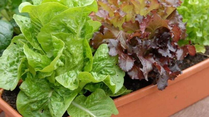 盆栽生菜种植方法