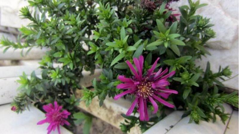 松叶菊和太阳花的区别