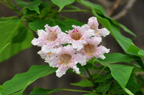 楸树的繁殖方法