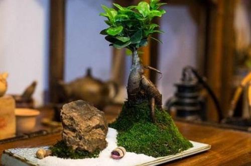 榕树盆景什么品种好,小叶榕小巧适合盆栽养护