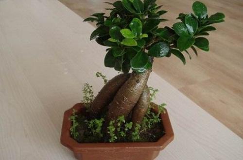盆栽榕树冬天怎么养,冬初施肥并保温控温