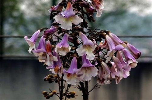 梧桐花和泡桐花的区别,4个步骤区分两者不同