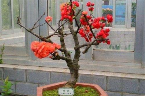 海棠和苹果的区别,科属形态花果期不同