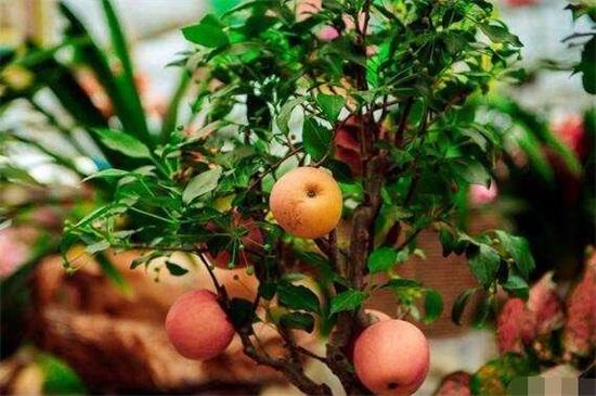 苹果树剪枝最佳时间,在冬末春初时进行剪枝
