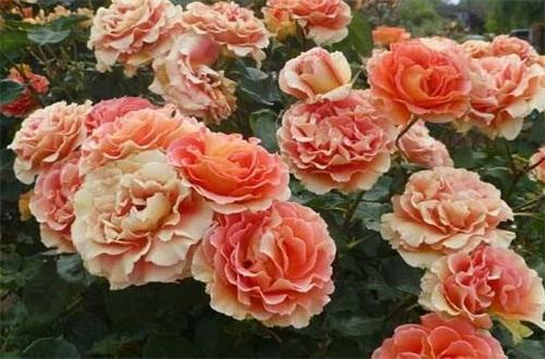 蔷薇花什么时候种植最好,在秋季种植成活率高