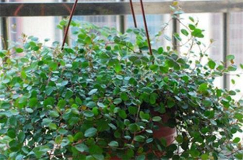 千叶吊兰的扦插方法,秋季选枝配土扦插繁殖