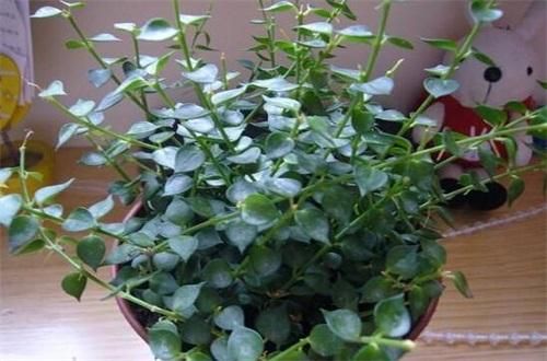 千叶吊兰的病虫害及其防治,根腐病处理病根灌药