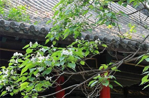 楸树的常见病害及其防治