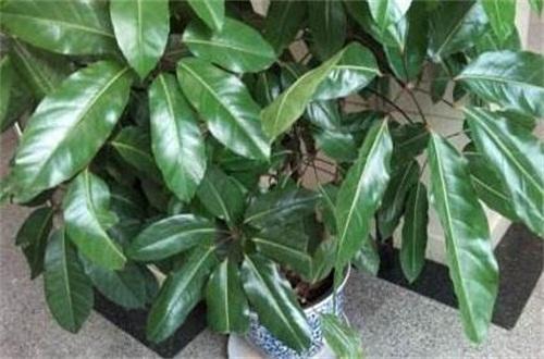 七叶树分月养护方法