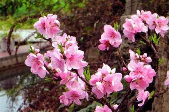 桃花怎么施肥,春季结果时追施化肥