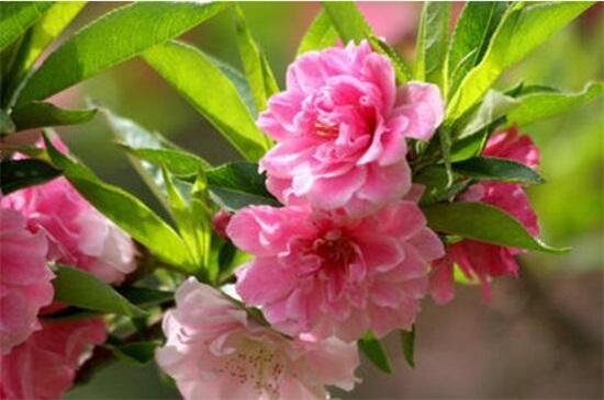 桃花夏季如何修剪,遮阴防晒梳剪枝条