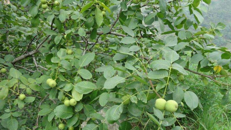 核桃树怎么种