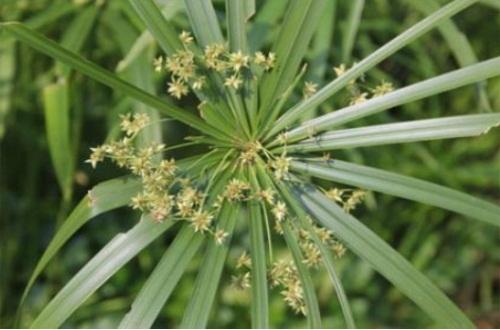 水竹可以放在室內嗎,寓意生財可室內養殖