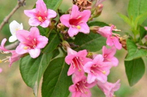 锦带花种子怎么种,4个步骤播种锦带花种子