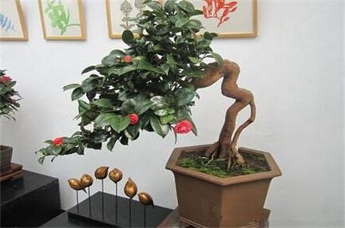 山茶花什么季节开花,大概在冬春季1~4月开花