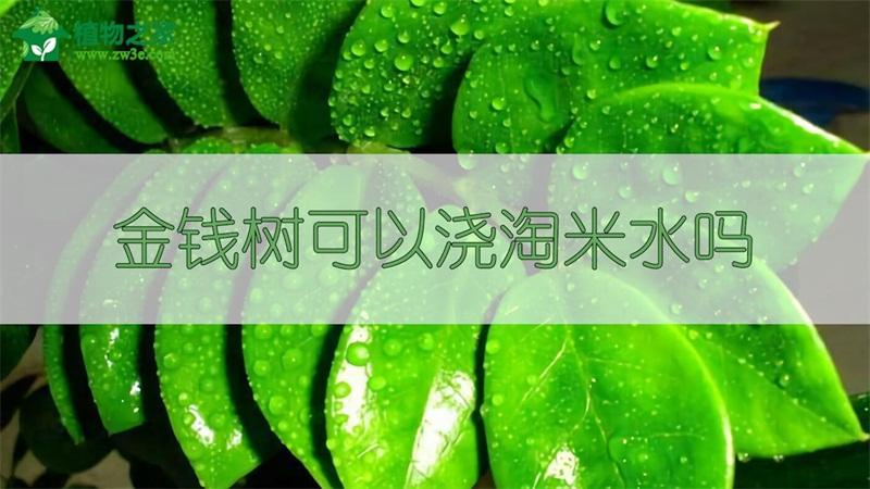 金钱树可以浇淘米水吗