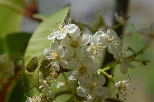 石楠花的主要变种