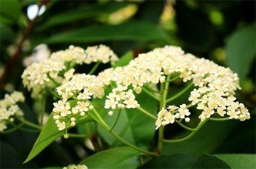 石楠花的繁殖方法,种子浸泡催芽播种繁殖