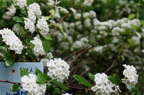 石楠花的病虫害及其防治,叶斑病需通风修剪洒药