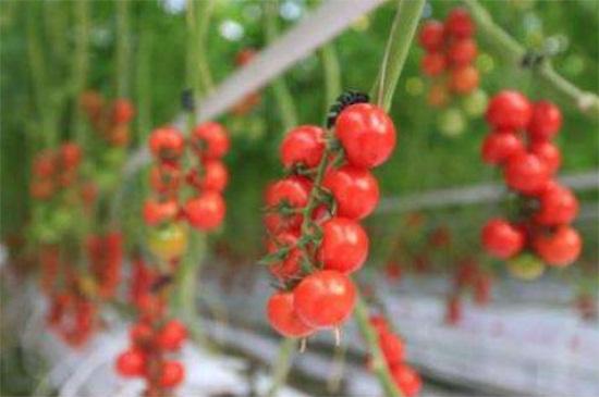 小番茄种植时间和方法,春夏播种养殖最佳