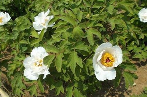 缫丝花的繁殖方式,种子催芽播种生根发芽