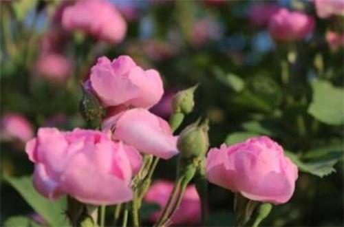 缫丝花的病虫害及其防治,白粉病需清洗植株洒药防治