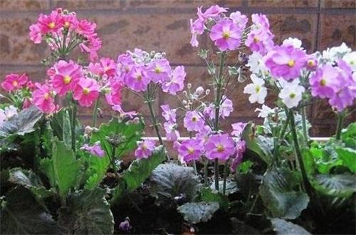 四季樱草种子怎么种,选种配土春季播种养护